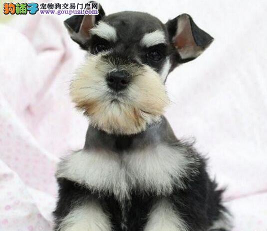纯种犬繁殖基地 出售 雪纳瑞幼犬