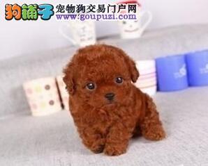 直销出售韩系血统泰迪犬 欢迎来武汉犬舍实地考察4