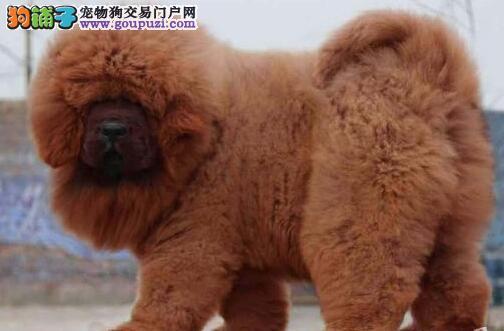 原生态藏獒武汉正规犬舍促销价格出售 可赠送狗笼子