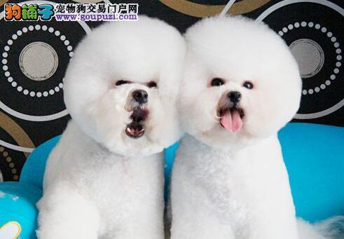 女神必备爱犬大眼睛双血统比熊宝宝, 今日购犬有优惠