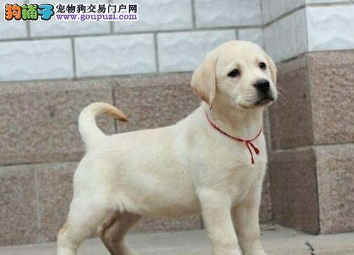 广州纯种拉布拉多幼犬价钱优惠赛级小七拉拉幼犬出售