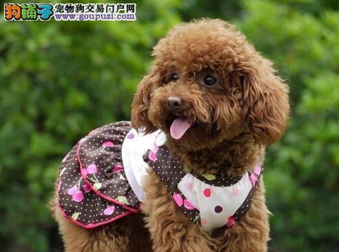 南京哪里有宠物家养泰迪幼犬多少钱