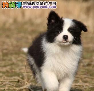 深圳出售纯种边牧三通七白品相好纯种边境牧羊犬幼犬