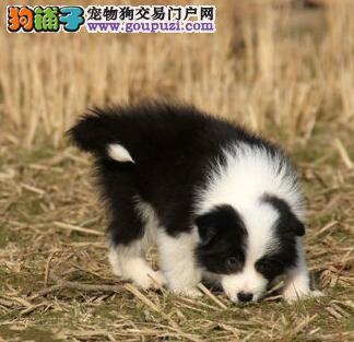 直销边境牧羊犬幼犬、纯度好100%健康、全国空运到家