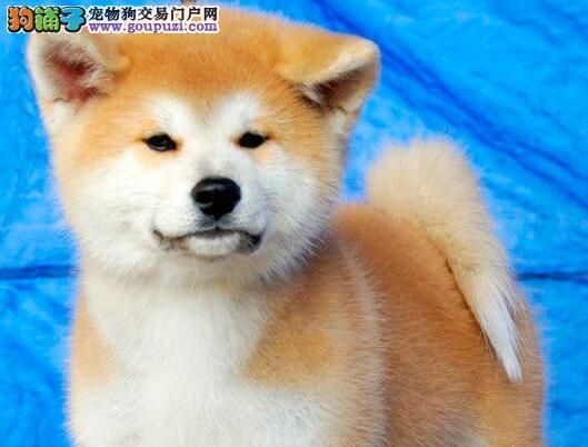 西安家养一窝纯种聪明日本秋田犬转让 血统纯包养活1