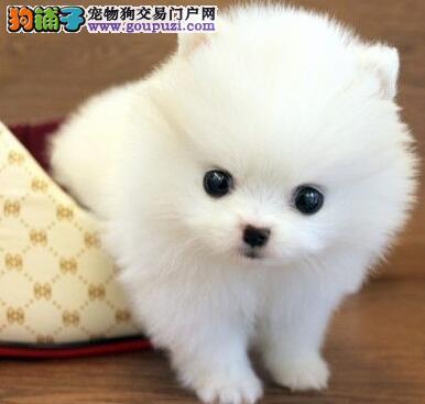 上海球体博美犬 狐狸犬哈多利系博美出售质保可刷卡