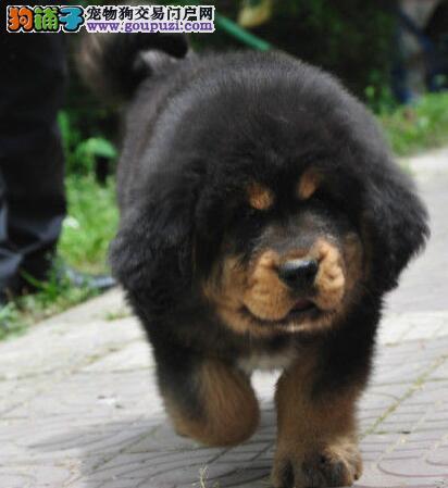 重庆赛级藏獒犬有血统纯种健康完善售后免费送可上门看