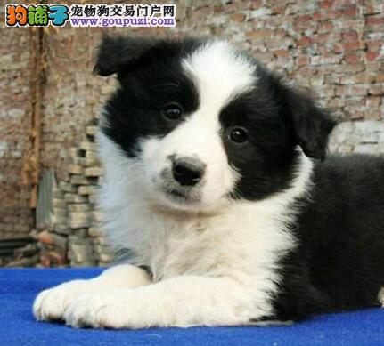 辽宁大连纯种高品质边牧幼犬 专业繁殖中型犬犬舍