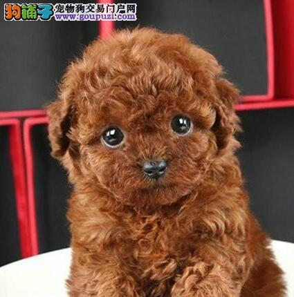 实体店低价促销赛级泰迪犬幼犬一分价钱一分货