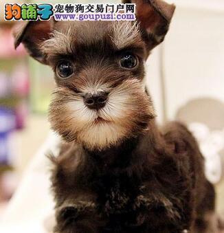 广州繁育小体雪纳瑞犬小胡子老头犬小雪支持送上门挑选