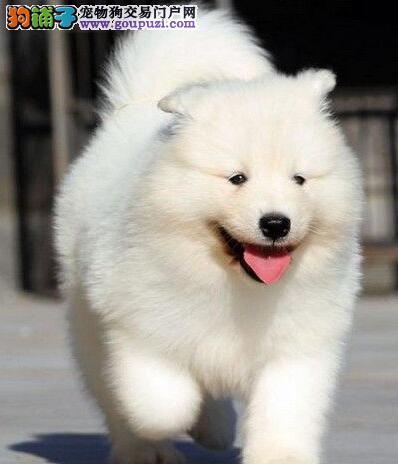 大港自家繁育大骨架纯白色无杂毛萨摩耶犬已断奶送狗粮
