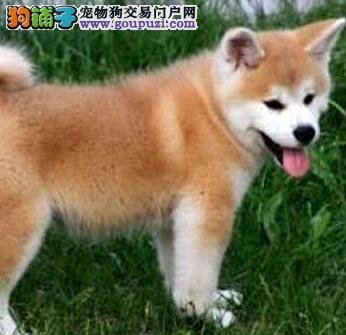 日系高品质赛级秋田犬 日本引进顶级种犬 可签署协议