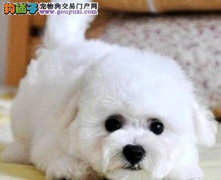 北京卷毛比熊犬签订质保协议纯种保终身免费送货上门