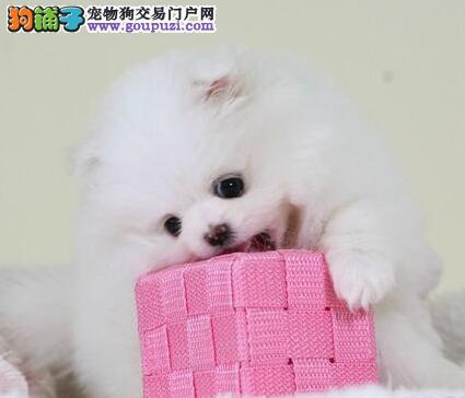 上海售纯种博美幼犬哈多利系博美狐狸犬.签协议保健康