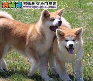 幸福和谐象征纯种秋田犬幼犬对外出售
