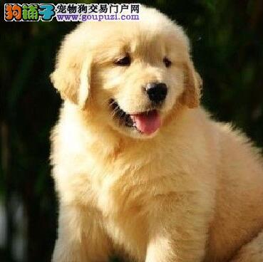 高品质金毛幼犬、品相血统一级棒、签订活体协议