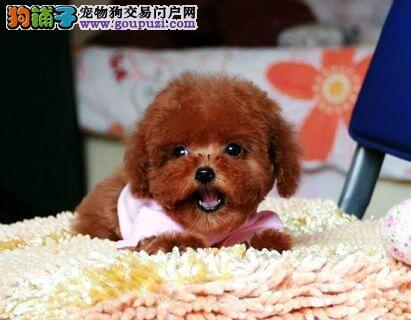 北京阿布宠物--玩具小体泰迪熊贵宾犬--时尚流行~