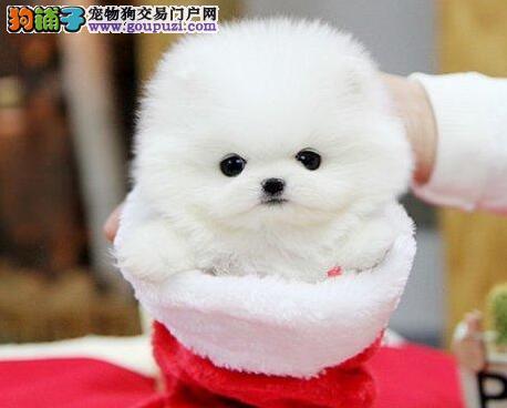 纯种球体博美哈多利系博美 俊介犬北京出售