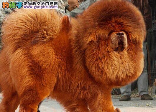 多种血系的西宁藏獒幼崽找新主人 求好心人士收留犬