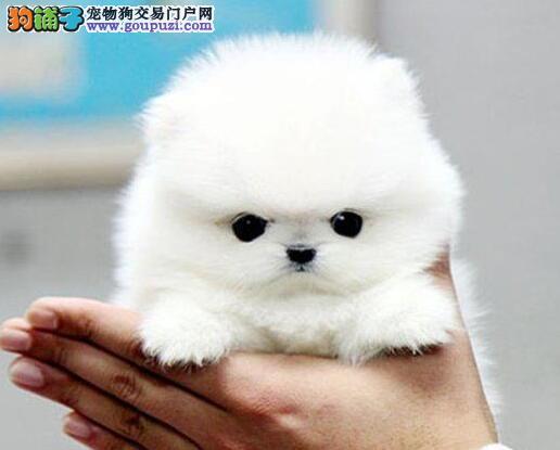赛级博美犬宝宝,纯度第一价位最低,可送货上门