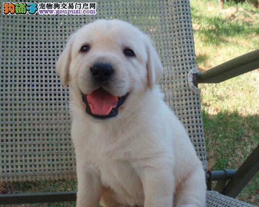 深圳买拉布拉多犬实体狗场送狗上门保纯种健康签协议