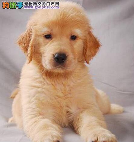 金灿灿被毛的桂林金毛犬火爆低价热销中 签订购犬协议