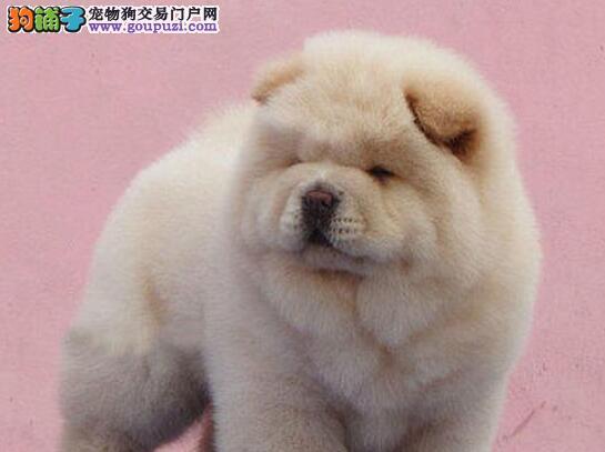 顽皮可爱胖嘟嘟十分可爱的桂林松狮犬找新家 签订协议