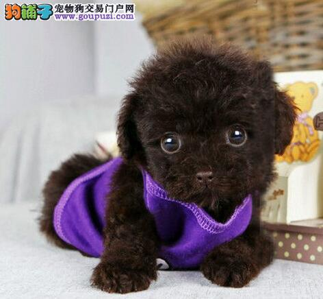 完美品相血统纯正郑州泰迪犬出售价格特优惠哦
