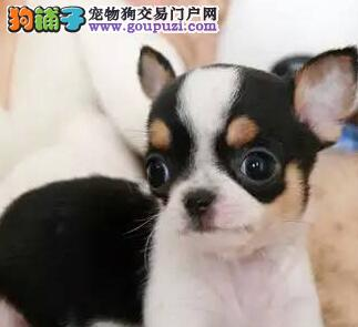 人工喂养的吉娃娃幼犬为什么不宜喝牛奶