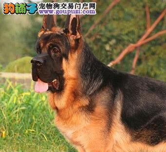 纯种赛级德国牧羊犬,公母均有多只选择,可送货上门