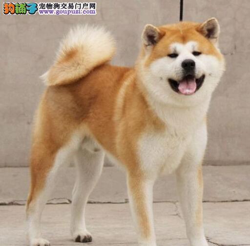 北京高端大气日系秋田犬幼犬出售 品相佳血统纯