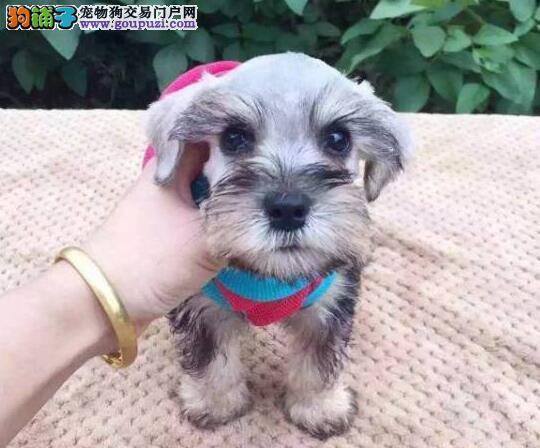 大胡子小老头的贵阳雪纳瑞找新主人 放心购买幼犬