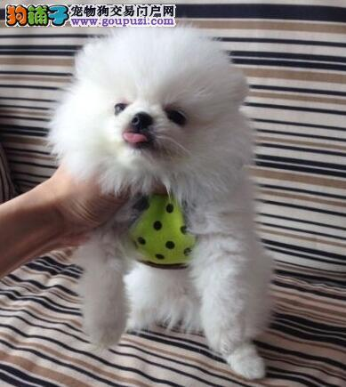 博美犬幼崽出售中,一宠一证视频挑选,提供养狗指导