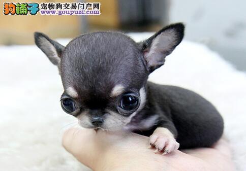 深圳出售世界最小茶杯犬 迷你吉娃娃 苹果头鲨鱼嘴