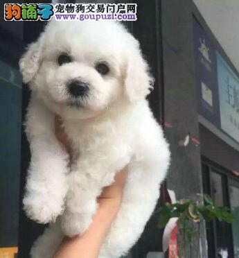 北京出售棉花糖比熊犬宝宝 包健康 个人繁殖图片
