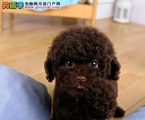 狗场热卖多种颜色的福州贵宾犬终身质保签订协议