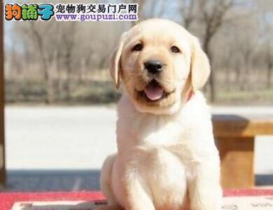 石家庄精品拉布拉多犬纯种健康疫苗驱虫已做完可签协议