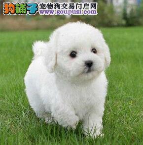 可爱纯种卷毛惠州比熊犬促销价出售 毛色佳品相好
