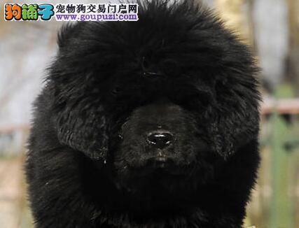 优秀纯种原生态藏獒惠州犬舍直销 有问题可包邮退换