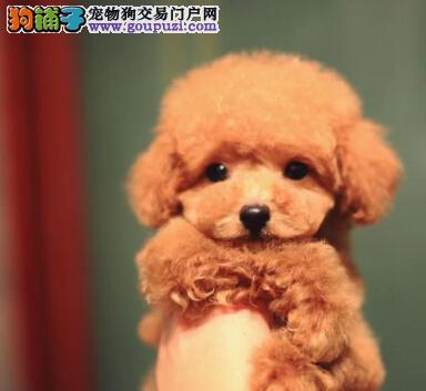 出售好品质贵宾犬北京地区购买可送用品