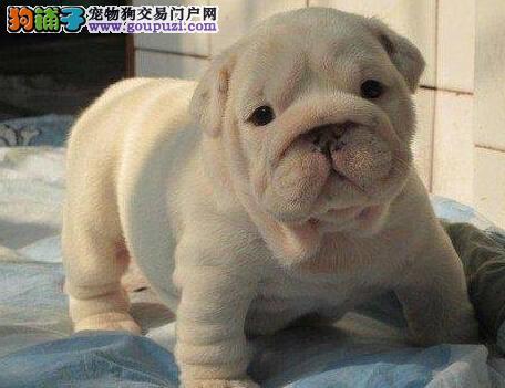 广州CKU认证犬舍出售多只斗牛犬 终身免费的售后服务