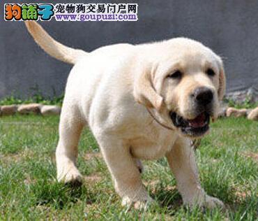 南宁拉布拉多幼犬出售纯种家养神犬小七忠诚聪明宠物狗