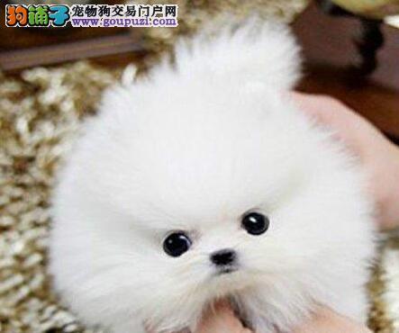 深圳自家狗场出售纯种博美犬 版型多毛色佳品种齐全4