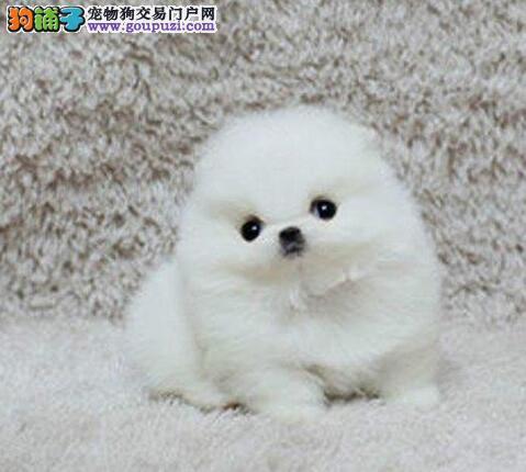 深圳自家狗场出售纯种博美犬 版型多毛色佳品种齐全3