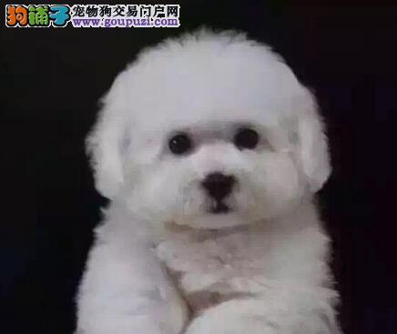 北京CKU注册专业繁殖犬舍出售比熊犬 包健康签协议