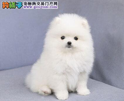 郑州超可爱哈多利版球体博美幼犬找新家黄白色公母均有