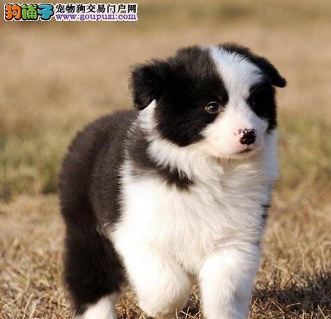 极品边境牧羊犬热销中,纯度第一品质第一,提供养狗指导