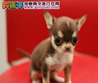 出售高品质纯种杭州吉娃娃幼犬 销售签订健康协议