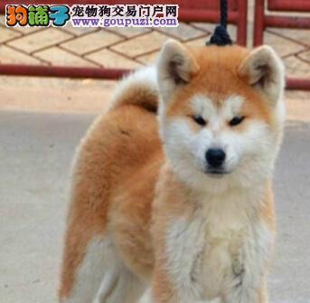 济南出售健康美丽秋田犬 宠物美容学校教授美容知识