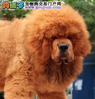 出售原生态铁包金狮子头幼獒 武汉狗场精心繁殖血统纯